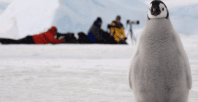 A penguin chick in the Antarctic with a team of scientists behind it